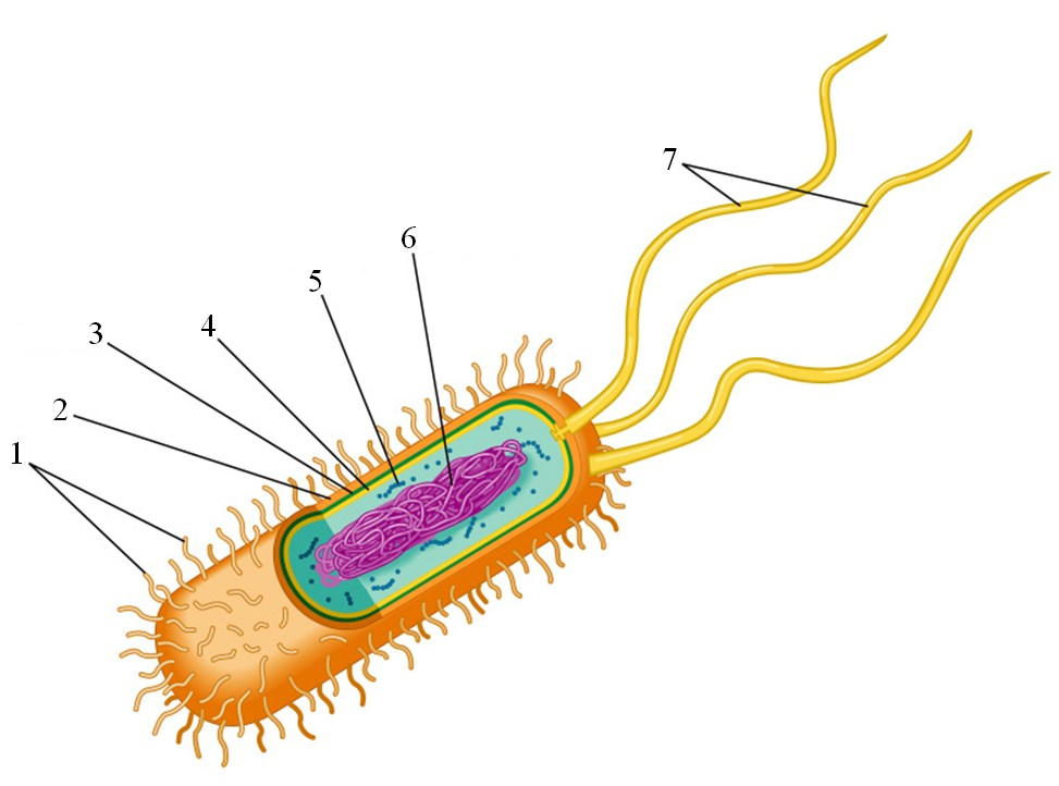 prokaryotic cells What are some examples of organisms that are prokaryotes and eukaryotes  we define prokaryotic and eukaryotic cells by their membrane bound nucleus and their .